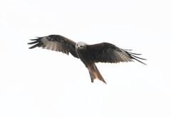 DSC_4326 (PeaTJay) Tags: nikond300s tamron reading lowerearley berkshire outdoors nature birds birdsofprey redkite