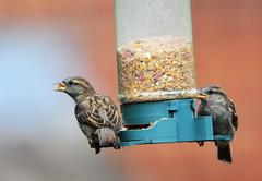 DSC_4330 (PeaTJay) Tags: nikond300s tamron reading lowerearley berkshire outdoors nature birds gardenbirds sparrow
