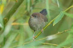 Cetti's Warbler (robin elliott photography) Tags: bird birds cettiswarbler birdwatching