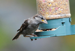 DSC_4335 (PeaTJay) Tags: nikond300s tamron reading lowerearley berkshire outdoors nature birds gardenbirds sparrow