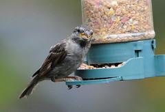 DSC_4339 (PeaTJay) Tags: nikond300s tamron reading lowerearley berkshire outdoors nature birds gardenbirds sparrow