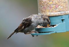 DSC_4343 (PeaTJay) Tags: nikond300s tamron reading lowerearley berkshire outdoors nature birds gardenbirds sparrow