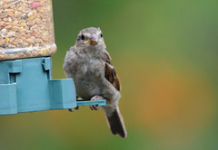 DSC_4348 (PeaTJay) Tags: nikond300s tamron reading lowerearley berkshire outdoors nature birds gardenbirds sparrow