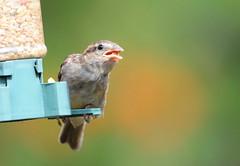 DSC_4354 (PeaTJay) Tags: nikond300s tamron reading lowerearley berkshire outdoors nature birds gardenbirds sparrow