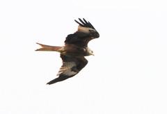 DSC_4320 (PeaTJay) Tags: nikond300s tamron reading lowerearley berkshire outdoors nature birds birdsofprey redkite