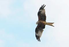 DSC_4321 (PeaTJay) Tags: nikond300s tamron reading lowerearley berkshire outdoors nature birds birdsofprey redkite