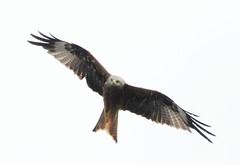 DSC_4327 (PeaTJay) Tags: nikond300s tamron reading lowerearley berkshire outdoors nature birds birdsofprey redkite