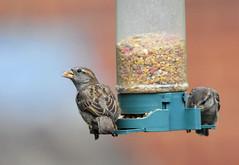 DSC_4329 (PeaTJay) Tags: nikond300s tamron reading lowerearley berkshire outdoors nature birds gardenbirds sparrow
