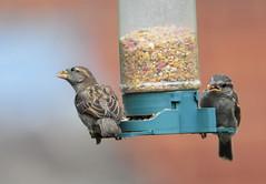 DSC_4331 (PeaTJay) Tags: nikond300s tamron reading lowerearley berkshire outdoors nature birds gardenbirds sparrow