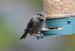 DSC_4332 (PeaTJay) Tags: nikond300s tamron reading lowerearley berkshire outdoors nature birds gardenbirds sparrow