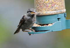 DSC_4334 (PeaTJay) Tags: nikond300s tamron reading lowerearley berkshire outdoors nature birds gardenbirds sparrow