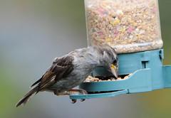 DSC_4337 (PeaTJay) Tags: nikond300s tamron reading lowerearley berkshire outdoors nature birds gardenbirds sparrow