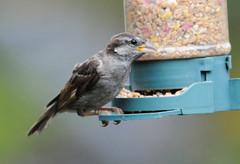 DSC_4338 (PeaTJay) Tags: nikond300s tamron reading lowerearley berkshire outdoors nature birds gardenbirds sparrow