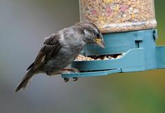 DSC_4342 (PeaTJay) Tags: nikond300s tamron reading lowerearley berkshire outdoors nature birds gardenbirds sparrow