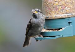 DSC_4345 (PeaTJay) Tags: nikond300s tamron reading lowerearley berkshire outdoors nature birds gardenbirds sparrow