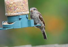DSC_4347 (PeaTJay) Tags: nikond300s tamron reading lowerearley berkshire outdoors nature birds gardenbirds sparrow