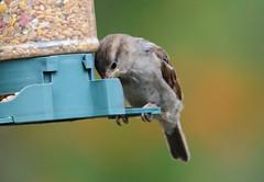 DSC_4349 (PeaTJay) Tags: nikond300s tamron reading lowerearley berkshire outdoors nature birds gardenbirds sparrow
