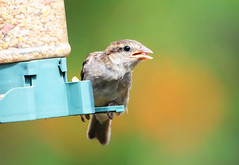 DSC_4350 (PeaTJay) Tags: nikond300s tamron reading lowerearley berkshire outdoors nature birds gardenbirds sparrow
