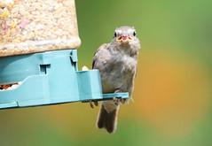 DSC_4351 (PeaTJay) Tags: nikond300s tamron reading lowerearley berkshire outdoors nature birds gardenbirds sparrow