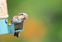 DSC_4352 (PeaTJay) Tags: nikond300s tamron reading lowerearley berkshire outdoors nature birds gardenbirds sparrow