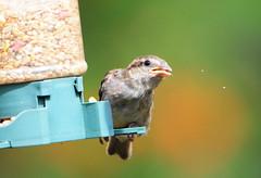 DSC_4353 (PeaTJay) Tags: nikond300s tamron reading lowerearley berkshire outdoors nature birds gardenbirds sparrow