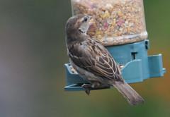 DSC_4357 (PeaTJay) Tags: nikond300s tamron reading lowerearley berkshire outdoors nature birds gardenbirds sparrow