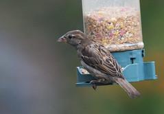DSC_4359 (PeaTJay) Tags: nikond300s tamron reading lowerearley berkshire outdoors nature birds gardenbirds sparrow
