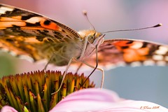IMG_6057 friggen bug (starc283) Tags: flicker finest canon 7d nature natures watcher bug starc283 friggen macro butterfly flickr