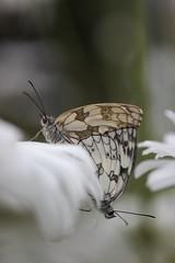 °. Demi-deuil .° (LiliFlora11) Tags: insecte papillon demideuil macro nature vert canon 550d