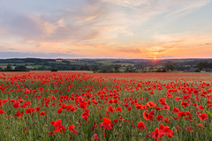 Poppy fileld sunset (LongLensPhotography.co.uk - Daugirdas Tomas Racys) Tags: poppy poppies field poppyfield cotswold landscape sunset england countryside bloom red seaofred remembrance evening colour ambiance