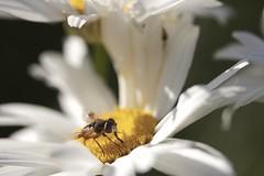 °. Mouche .° (LiliFlora11) Tags: mouche insecte macro nature jaune canon 550d