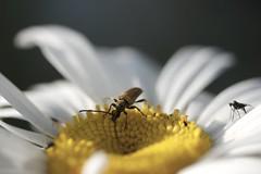 °. Lepture .° (LiliFlora11) Tags: insecte lepture margueritte jaune macro nature canon 550d