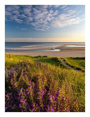 Arrival at Maasvlakte Beach (Rob Schop) Tags: beach seascape maasvlakte zuidholland goldenhour wideangle foreground flowers glow samyang12mmf20 f11 handheld pola hoyaprofilters sonya6000 pathway singleexposure