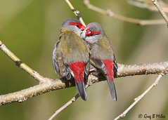 Red-browed Finch (Neochmia temporalis) (Greg Miles) Tags: redbrowedfinch neochmiatemporalis calga newsouthwales australia