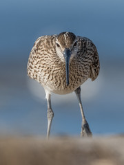 Whimbrel (JS_71) Tags: nature wildlife nikon photography outdoor 500mm bird new summer see natur pose moment outside animal flickr colour poland sunshine beak feather nikkor d500 wildbirds planet global national wing eye watcher