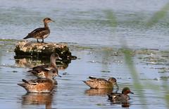 Grand Harle Lemoyne 6 Juillet 2019 (frankthewood63) Tags: 2019 valdor abitibi québec oiseaux oiseau birds bird