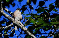 Épervier brun Halet 7 juillet 2019 (frankthewood63) Tags: 2019 halet malartic abitibi québec oiseaux oiseau birds bird