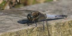 (yvonnepay615) Tags: panasonic lumix gh4 nature insect broadbodiedchaser rspb strumpshawfen norfolk eastanglia uk