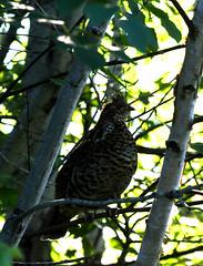 Gélinotte Huppée Halet 7 juillet 2019 (frankthewood63) Tags: 2019 halet malartic abitibi québec oiseaux oiseau birds bird