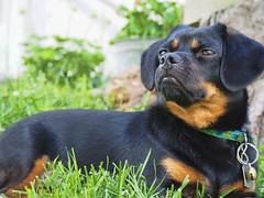 Lord Charlie (Mulewings~) Tags: charlie dog pet mydog pekenhund mixeddog dogsiknow blackandtan