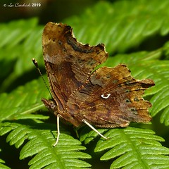 Comma (LPJC (away for August)) Tags: bedfordpurlieus northamptonshire uk 2019 lpjc butterfly comma