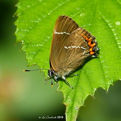 White-letter hairstreak (LPJC (away for August)) Tags: bedfordpurlieus northamptonshire uk 2019 lpjc butterfly whiteletter hairstreak