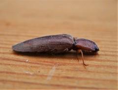Elateridae Click Beetle. Elateridae.  Stenagostus rhombeus (gailhampshire) Tags: elateridae click beetle stenagostus rhombeus taxonomy:binomial=stenagostusrhombeus