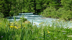 Fleurs d' arnica (myvalleylil1) Tags: alpes montagne vacances italie valferret fleurs rivière