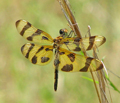 Halloween pennant - hanging at the wetlands (Vicki's Nature) Tags: halloweenpennant female dragonfly wings brown golden spots grasses dof biello georgia vickisnature canon s5 6770