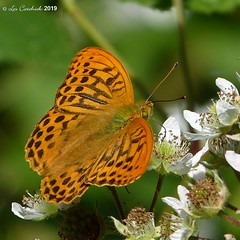 Silver-washed fritillary (LPJC (away for August)) Tags: bedfordpurlieus northamptonshire uk 2019 lpjc butterfly silverwashed fritillary