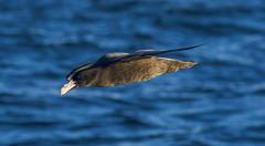 Southern Giant-Petrel (Macronectes giganteus) (Kremlken) Tags: macronectesgiganteus pelagic seabirds pacific ocean seas chilean nature birds birding birdwatching nikon500 humboldt current petrels immature