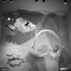 bell-museum-display (kaumpphoto) Tags: rolleiflex 120 tlr stilllife bellmuseum display fish shark jaws teeth skeleton mouth bite saintpaul shadow fin