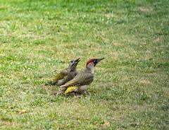 R75_8026 (53Ruth) Tags: nikond750 tamron70200mm vogel specht grünspecht natur garten rasen wiese