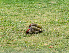R75_8021 (53Ruth) Tags: nikond750 tamron70200mm vogel specht grünspecht natur garten rasen wiese